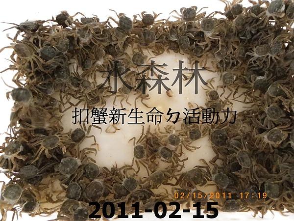 100年慶大閘蟹成長過程記錄 018.jpg