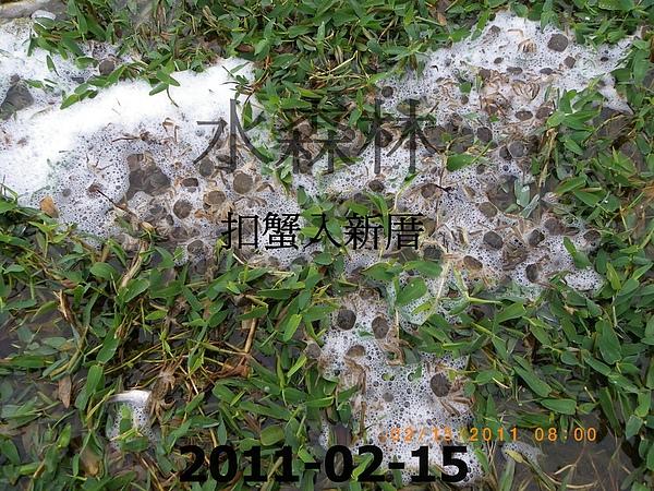100年慶大閘蟹成長過程記錄 016.jpg