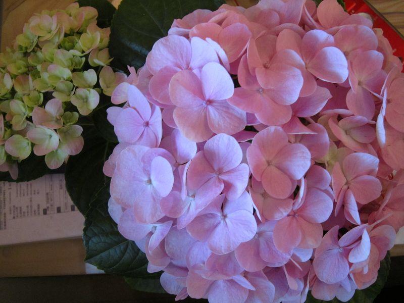 07 - 繡球花 (阿嬤偷拔回來的葉子, 竟然長成這麼美麗的繡球花).jpg