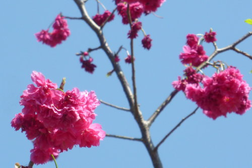 Feb. 26|角板山。誰來指點一下,櫻花該怎拍才好。
