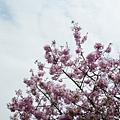 Mar. 05|後巷吉野櫻02。2011