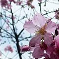 Mar. 05|後巷吉野櫻03。2011