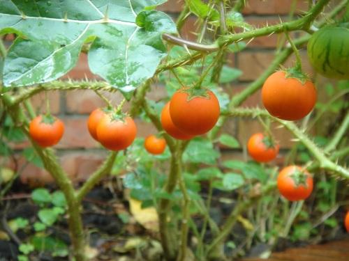 華陶窯。刺茄