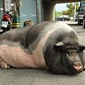 還到最大隻的麝香豬
