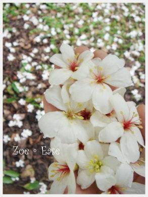 紛落的油桐花