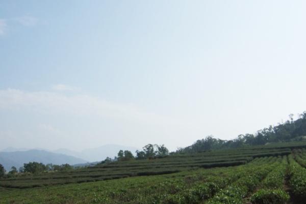 九華山-茶園
