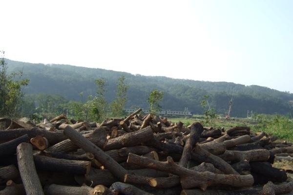 東華的樟木堆