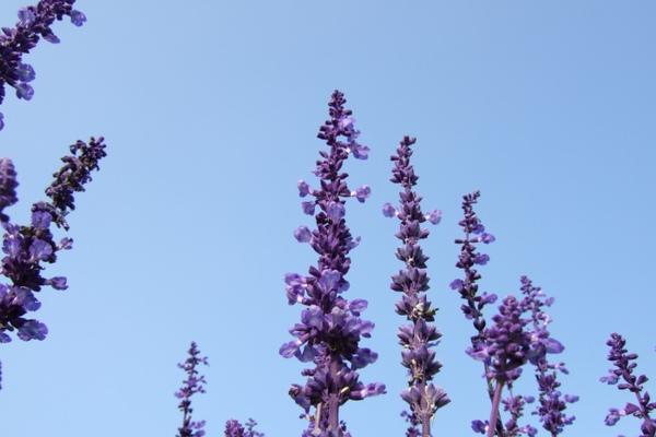 通宵花海。紫色天空