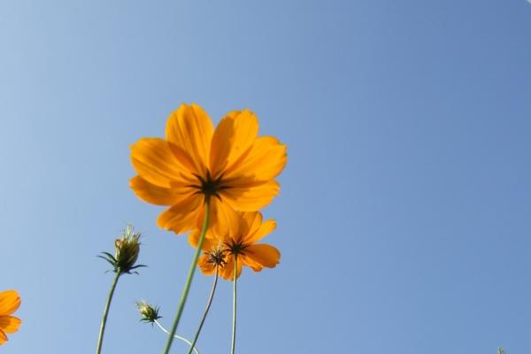 通宵花海。菊