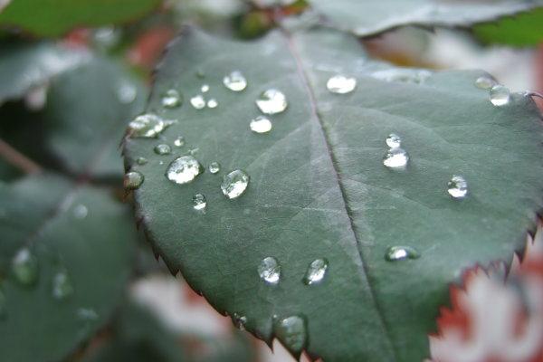 Feb. 14 稍稍放晴的虎年初一,停車場茶花樹葉上的雨珠。