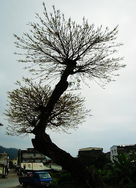 頭城老街。老樹