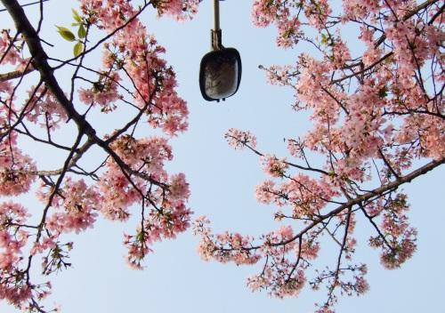 街巷裡的櫻花