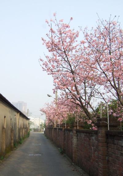 圍牆裡的粉紅櫻花