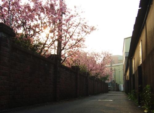 沐浴在晨陽的櫻花