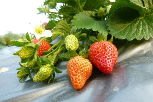 Feb. 28|草莓串