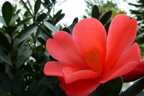 坪林。四季杜鵑紅山茶花