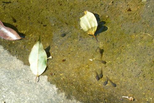 Feb. 26|角板山。小蝌蚪