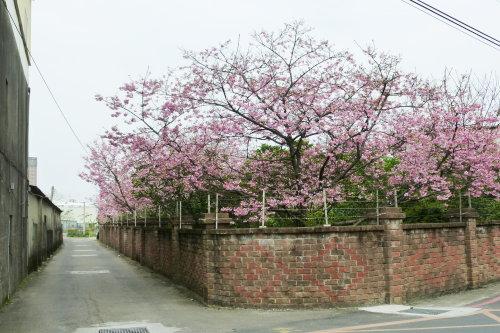 Mar. 05|後巷吉野櫻01。2011