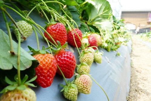 Feb. 28|腳邊的草莓數不清