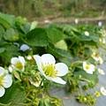 Feb. 28|花開 結果 是草莓