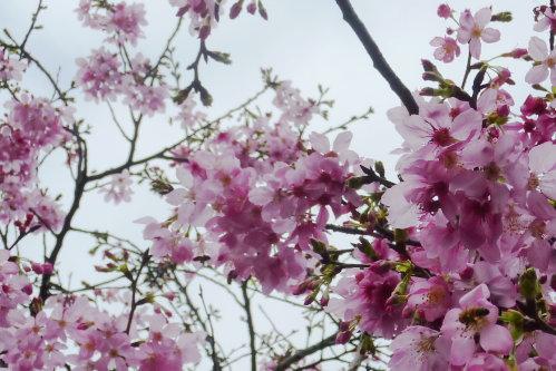 Mar. 05|後巷吉野櫻06。2011