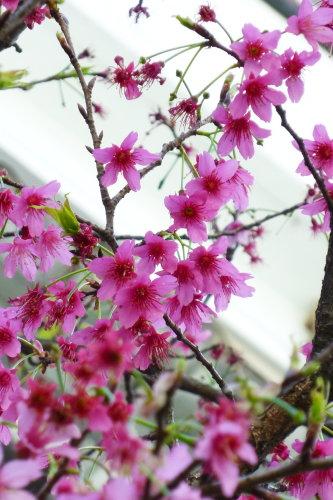 Feb. 26|角板山。天啊~拍不出櫻花的粉嫩