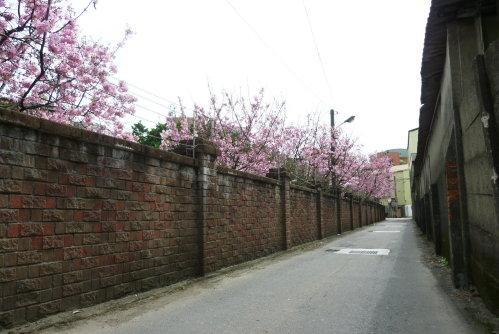 Mar. 05|後巷吉野櫻08。2011