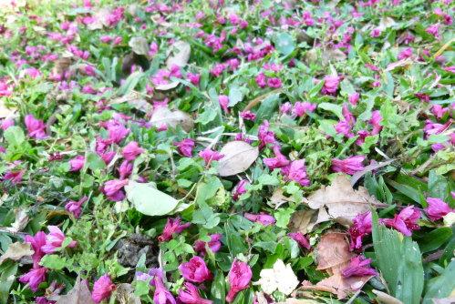 Feb. 26|角板山。滿地紅櫻