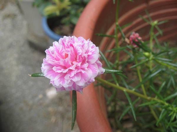 松葉牡丹-粉色.