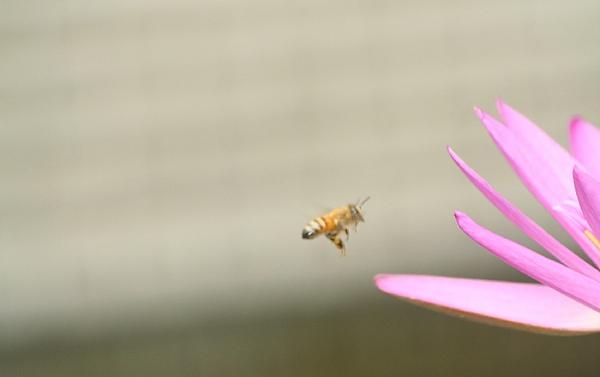 蜜蜂撲荷2.jpg