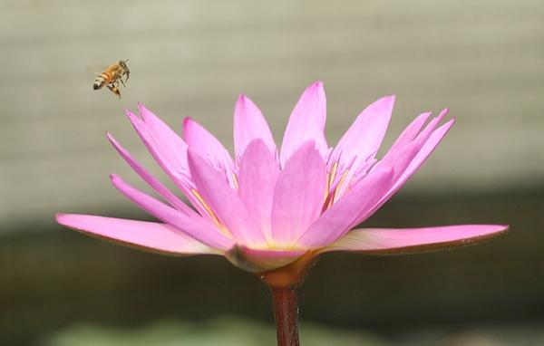 蜜蜂撲荷1.jpg
