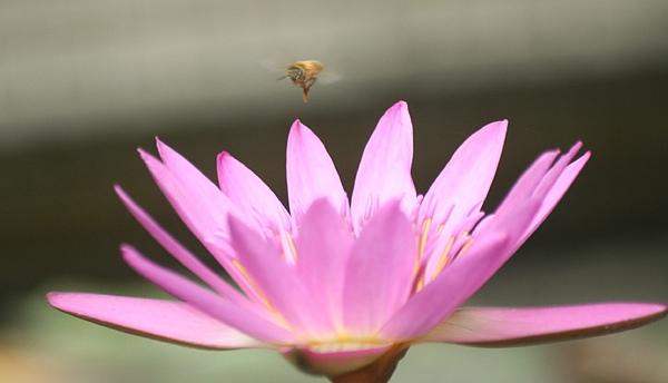 蜜蜂撲荷3.jpg