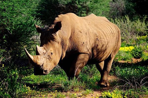 動物學家 犀牛2014版 Zoologist Rhinoceros 5.jpg