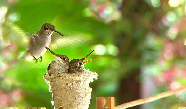 【Zoologist】Hummingbird (動物學家:蜂鳥)4.jpg