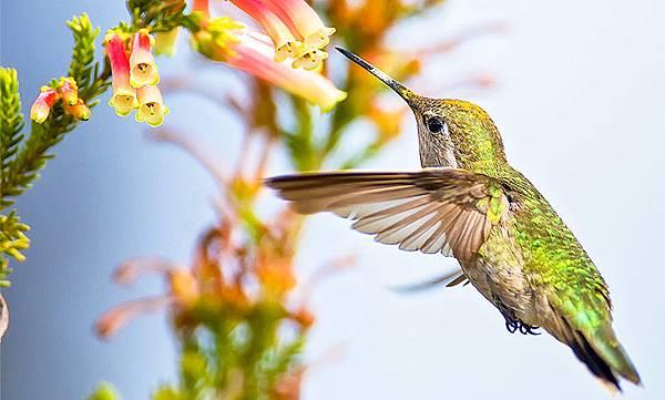 【Zoologist】Hummingbird (動物學家:蜂鳥)7.jpg