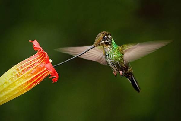 【Zoologist】Hummingbird (動物學家:蜂鳥)6.jpg