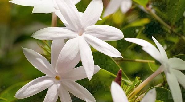 【April Aromatics】Jasmina (茉莉米娜)4.jpg