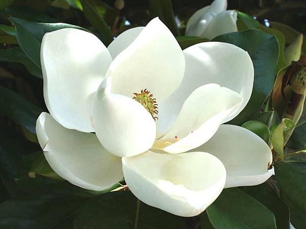 【Acqua di Parma】Magnolia Nobile (金釵玉蘭)6.jpg