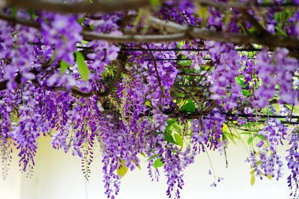 【PRYN】Jardin d'Iris (日本花園的印象)3.jpg
