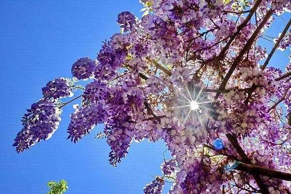 【PRYN】Jardin d'Iris (日本花園的印象)6.jpg