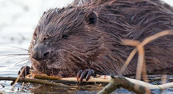 【Zoologist】Beaver 2014 (海狸)7.jpg