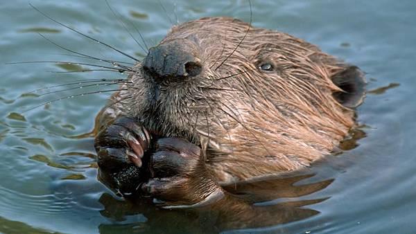 【Zoologist】Beaver 2014 (海狸)6.jpg