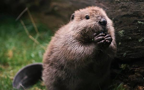 【Zoologist】Beaver 2014 (海狸)8.jpg