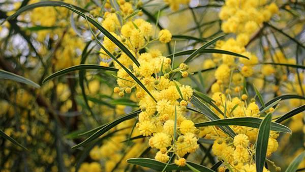 【PRYN PARFUM】Le Mimosa (童趣金合歡)6.jpg