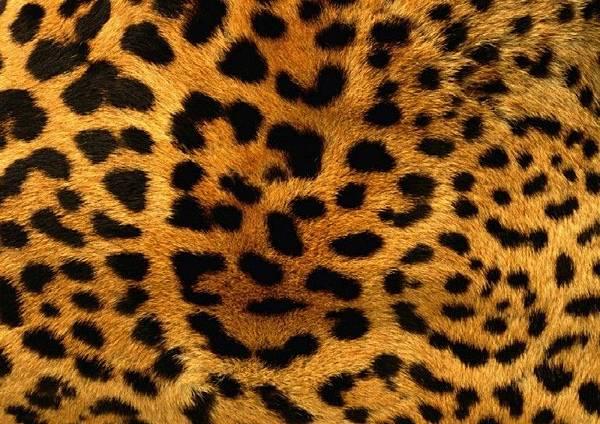 【Sarah Baker Perfumes】Leopard (豹紋)8.jpg