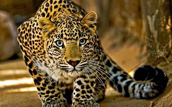 【Sarah Baker Perfumes】Leopard (豹紋)6.jpg