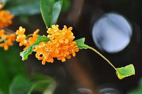 【Parfum d'Empire】Osmanthus Interdite (紫禁桂花)5.jpg