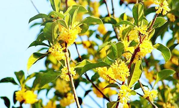 【Kimature】Sweet Osmanthus (金桂花)3.jpg
