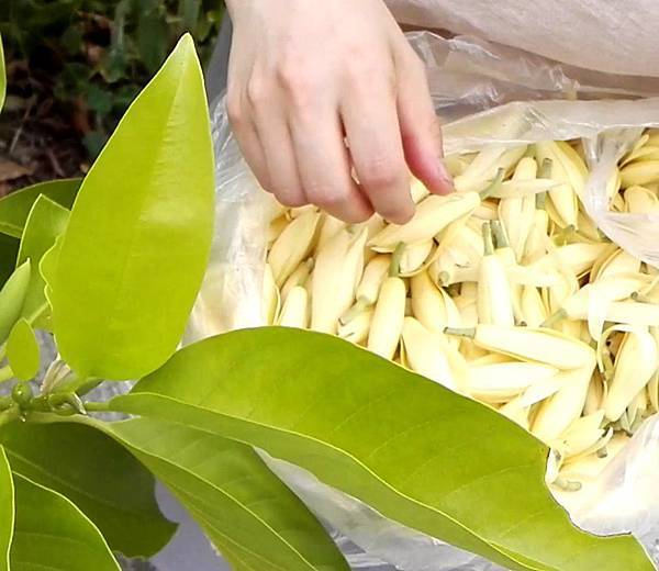 【Kimature】white Jade Orchid (白蘭花玉蘭花)6.jpg