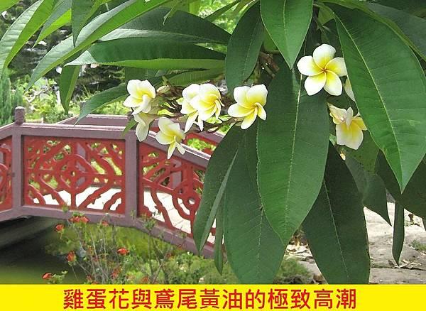 【Areej Le Doré】Plumeria de Orris (雞蛋花)5.jpg